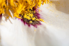 Yellow pollen spills out on white petals of the peony Stock Images