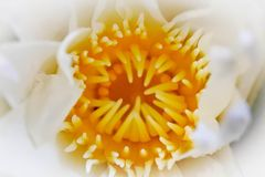 Yellow pollen of white lotus, Selected focus. Royalty Free Stock Image