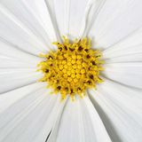 Yellow pollen and white petal for pattern Royalty Free Stock Photo