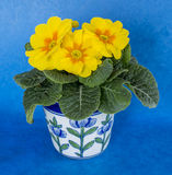 Yellow Polyanthus in pot Stock Photos