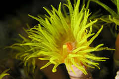 Yellow polyp Royalty Free Stock Photo