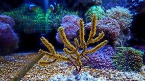 Yellow Polyp Gorgonian coral. Yellow Polyp Gorgonian Royalty Free Stock Photos