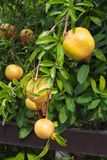 Yellow pomegranate is ready to eat Royalty Free Stock Image