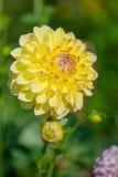 Yellow Pompon Dahlia stock photo