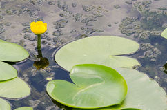 Yellow Pond Lily Royalty Free Stock Images