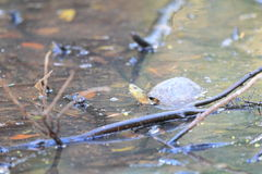 Yellow pond turtle Stock Images