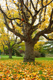 Yellow poplar in autumn park Stock Image