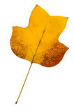 Yellow poplar leaf. A closeup of a grungy  yellow poplar leaf in autumn foliage colors isolated against a white background Royalty Free Stock Photography