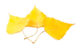 Yellow poplar leaves. On a white background Stock Photos