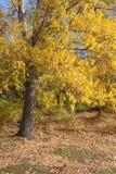 Yellow poplar leaves. In the autumn Stock Photos
