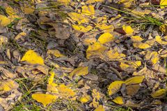 Yellow poplar leaves. royalty free stock photo