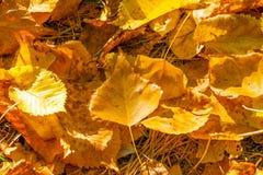 Yellow poplar leaves. stock photo