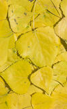 Yellow poplar leaves Stock Image
