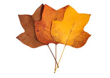 Yellow Poplar leaves Stock Image