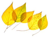 Yellow poplar leaves isolated Stock Images