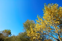 Yellow poplar tree Stock Photo
