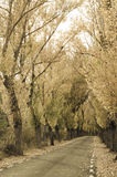 Yellow Poplar Trees On Road In Autumn. Royalty Free Stock Photos