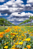 Yellow Poppies in a Texas Vineyard Stock Photography