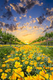Yellow Poppies in a Texas Vineyard Stock Images