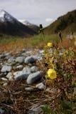 Yellow poppy Stock Image