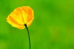 Yellow poppy. Yellow/orange poppy flower on blurred green background royalty free stock photography