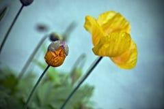 yellow poppies   Stock Image