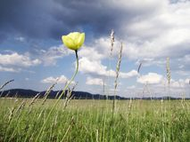 Yellow poppy against a stormy sky photo image stock images