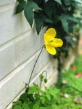 Yellow poppy against wall. Yellow poppy growing against wall with blurred foliage background Royalty Free Stock Image