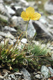 Yellow poppy on the stones. Yellow poppy in bloom on the stones Royalty Free Stock Image