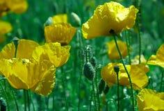Yellow poppy blossom Stock Photos