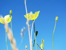 Yellow poppy on blue sky background photo image stock photo