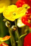 Yellow poppy flower Stock Images