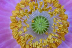 Yellow Poppy Anthers, Green Stigma. Yellow Poppy flower anthers circle green stigma with pink flower petal background Stock Images