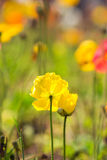 Yellow poppy flower Royalty Free Stock Photography