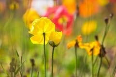 Yellow poppy flower 2 Stock Photos