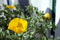 Yellow poppy flower. Close up of yellow poppy flower Stock Image