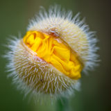 Yellow poppy flower head. Opening in Summer. Wales UK, August Royalty Free Stock Photography