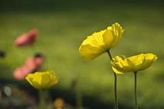Yellow Poppy flowers Royalty Free Stock Image