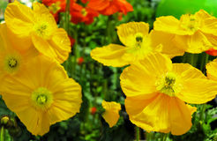 Yellow poppy flowers Stock Images