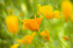 Yellow poppy flowers Royalty Free Stock Photography