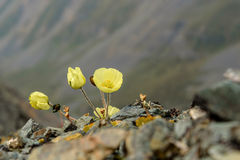Yellow poppy flowers mountains Royalty Free Stock Photography