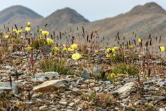 Yellow poppy flowers mountains Royalty Free Stock Image
