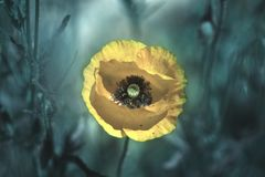 Yellow poppy on green weeds field. Poppy flowers.Close up poppy stock photos