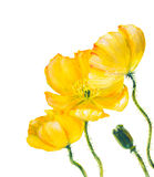 Yellow Poppy isolated on white Stock Photos