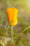 Yellow poppy Stock Photography