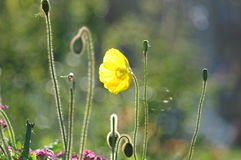 Yellow poppy in sunlight Stock Photos