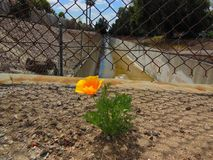 Yellow Poppy. Surviving by the Los Angeles aqueduct.  An isolated seed made it`s way to this isolated place Stock Photography