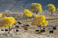 Yellow Populus euphratica and animals near the desert Royalty Free Stock Images