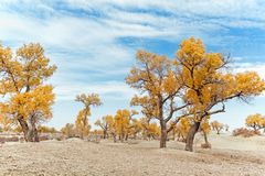 Yellow populus euphratica forest in autumn. Yellow populus euphratica forest at autumn Royalty Free Stock Image