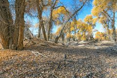 Yellow populus euphratica forest in autumn. Yellow populus euphratica forest at autumn Stock Image